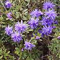 Rhododendron polycladum-IMG 6685.JPG