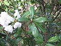 Rhododendron smirnowii 03.JPG