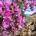 Rhododendronledebourii altay 2019.jpg