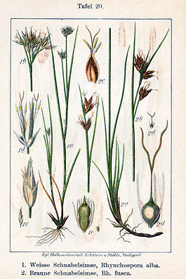 Weißes Schnabelried (Rhynchospora alba) rechts, Braunes Schnabelried (Rhynchospora fusca) links.