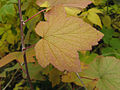 Ribes americanum, autumn leaves 3.jpg