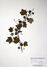 Ribes cynosbati BW-1979-0529-0680.jpg