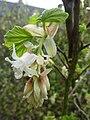 Ribes sanguineum 'Prush Album' (Saxifragaceae) flower.jpg