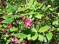 Ribes sanguineum 03759.JPG
