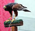Rievocazione storica di montopoli, 2014, 04 falconeria, aquila reale.JPG