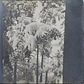 Right stereoscopic print of snowcovered pines in Ruovesi, Finland (35028421655).jpg