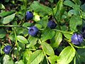 Ripe bilberries, Dipton Wood - geograph.org.uk - 1472503.jpg