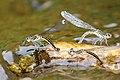 River Heliodor females ( Libellago lineata) laying eggs (Ovipositing) (35796989793).jpg