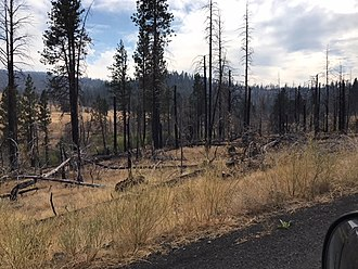 Fremont National Forest - Burned ponderosa pine from 2012 Barry Point Fire. Photo taken on road to Dog Lake.