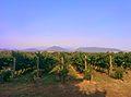 Rochford Wines vineyard in Yarra Valley Australia.jpg