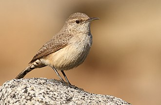 Wren - Rock wren (Salpinctes obsoletus)