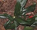 Rohdea japonica (leaf s3).jpg