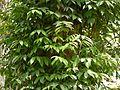 Rojamu-chettu (Telugu- రోజముచెట్టు) (4591487367).jpg
