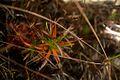 Roraima plant3.jpg