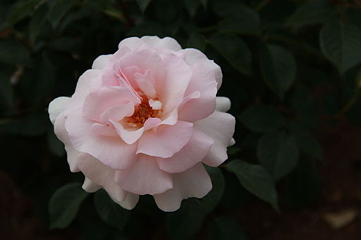 Rosa 'A Whiter Shade of Pale'