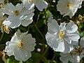 "Rosa ""Guirlande d'Amour"" o LENalbi. 01.jpg"