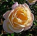 Rosa Grandmere Jenny 1.jpg