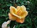 Rosa Rosemary Harkness 2019-07-11 2908.jpg