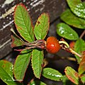 Rosa majalis fruit (13).jpg