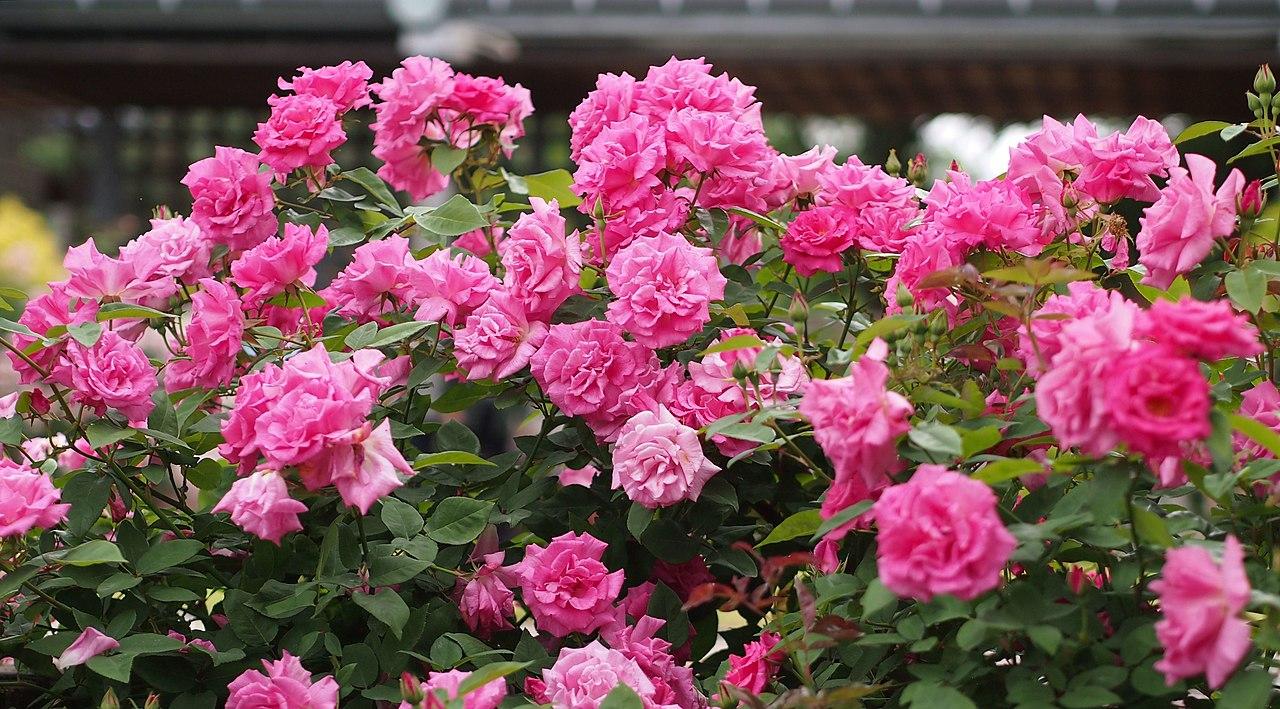 Source Wikipedia Zephirine Droughin Climbing Rose