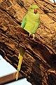 Rose-ringed parakeet (Psittacula krameri) female.jpg