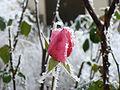 Rose - frost.jpg