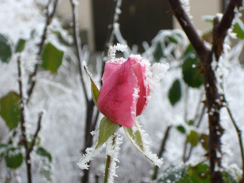 File:Rose - frost.jpg