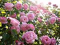 Rose Constance Spry バラ コンスタンス スプライ (8053959415).jpg