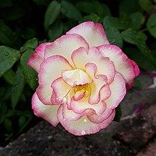 Rose from my garden.jpg