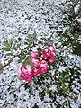 Rose under the snow.jpg