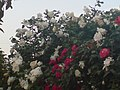 Rosebush - panoramio (3716).jpg