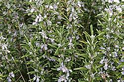 Rosemary bush.jpg