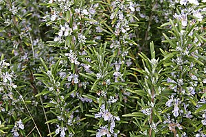 Rosemary (given name)