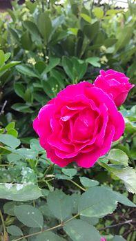 Rosesnplants.jpg