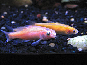 Fathead minnow - The rosy-red strain of Pimephales promelas in a home aquarium