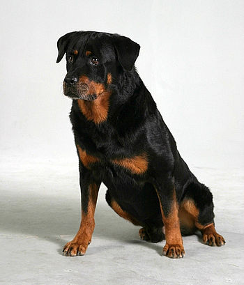 10-year-old Rottweiler