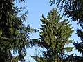 Round treetop. February 2014. - Круглая верхушка ёлки. Февраль 2014. - panoramio.jpg