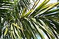 Roystonea regia var. maisiana 9zz.jpg