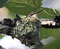 Ruby-throated hummingbird on nest 05.jpg