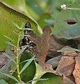 Ruddy-breasted Crake (Porzana fusca) in Kolkata I IMG 2676.jpg