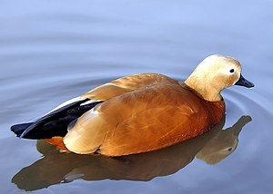 Ruddy shelduck - At Slimbridge Wildfowl and Wetlands Centre, Gloucestershire