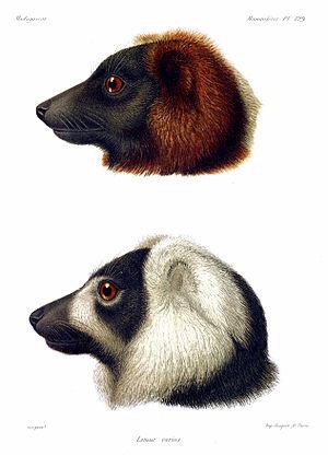 Ruffed lemur - Color print of the two ruffed lemur species from Alfred Grandidier's L'Histoire politique, physique et naturelle de Madagascar. (1892)