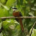 Rufous-tailed Jacamar (5536054322).jpg