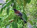 Rufous treepie (Dendrocitta vagabunda) 02.jpg