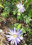 Ruhland, Grenzstr. 3, Balkan-Windröschen im Garten, blühend, Frühling, 02.jpg