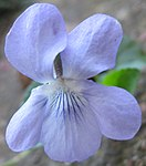 Ruhland, Grenzstr. 3, Hain-Veilchen, Blüte, Frühling, 04.jpg