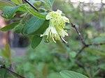 Ruhland, Grenzstr. 3, Kamtschatka-Heckenkirsche, Zweigspitze mit Blüten, Frühling, 04.jpg