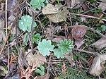 Ruhland, Grenzstr. 3, Weicher Frauenmantel im Garten, Blattrosette, Frühling, 02.jpg