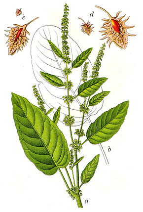 Description de l'image Rumex obtusifolius Sturm48.jpg.