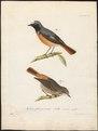 Ruticilla phoenicurus - 1800-1812 - Print - Iconographia Zoologica - Special Collections University of Amsterdam - UBA01 IZ16200238.tif